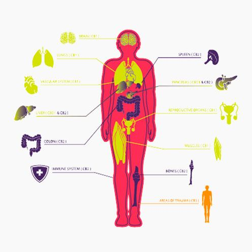 Depiction of Cannabinoid Receptors Type 2 in the Human Body | What is the Endocannabinoid System? from fabuleaf™ Full Spectrum Hemp Flower CBD Products