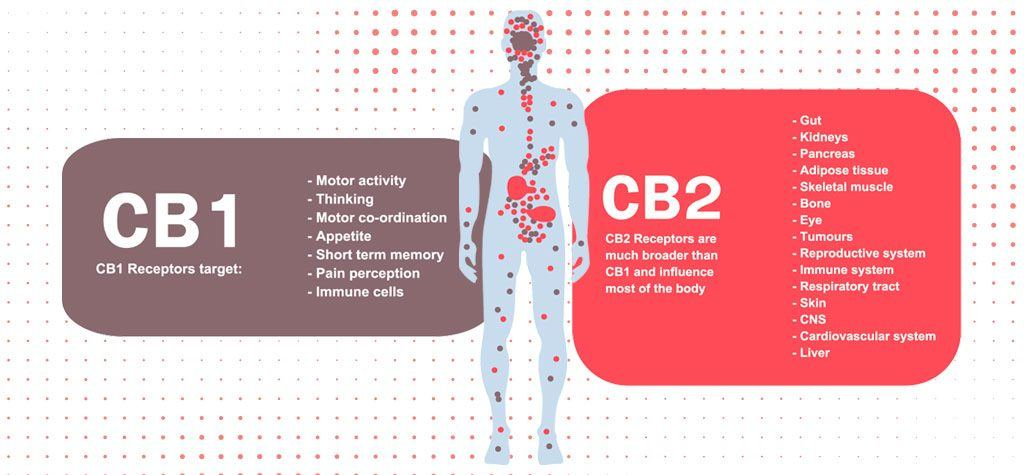 The Endocannabinoid System with CB1 and CB2 Receptors | What is the Endocannabinoid System? from fabuleaf™ Full Spectrum Hemp Flower CBD Products